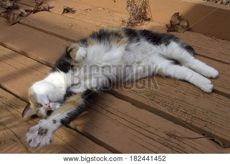 Close up of a small colorful calico cat lying on her back on a wood deck reaching a widened paw toward the viewer in entreaty