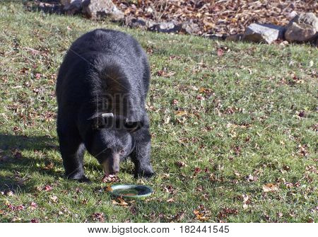 A large wary and thirsty female black bear finds a flower pot bottom with water to drink from in a neighborhood yard in autumn