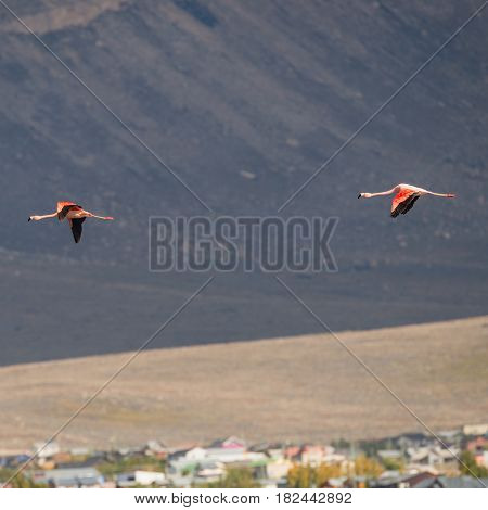 Flying Rosy Flamingo At Nimez Birds Reservation Area, Patagonia