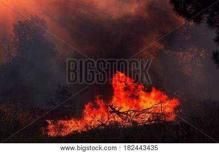 fire. wildfire burning pine forest at sunset.