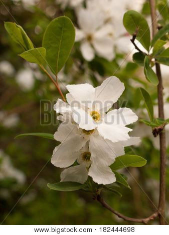 Beautiful White Apple Blossom Flower Heads Hanging Off A Tree In The Garden