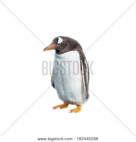 Isolated At White Background Funny Penguin