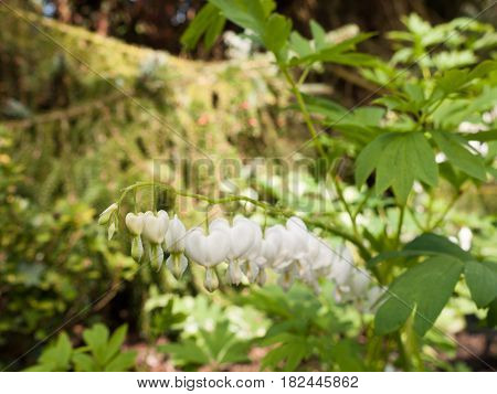 Incredible White And Hanging Bleeding Hearts In The Garden. Lamprocapnos Spectabilis 'alba'. Close B