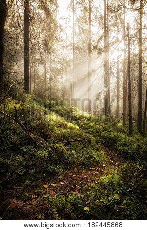 Deep misty wild forest with sun rays.
