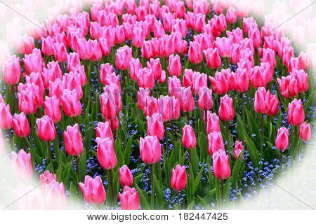 Flower bed of many pink tulips with a vignetted border