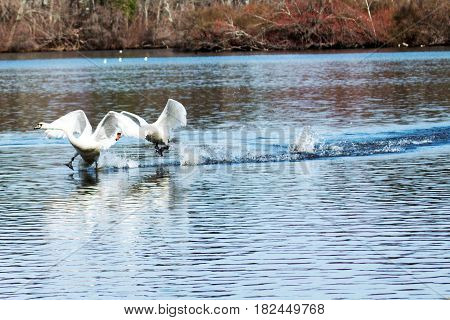 Two seagulls look like they are running on water as they take off to fly to another location