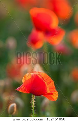 Nature, spring, blooming flowers concept - close-up of red poppies over green and red background vertical - empty space for text.