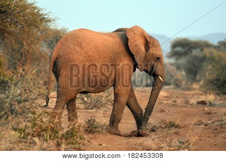 Picture of a baby elephant in Madikwe game reserve, South Africa.