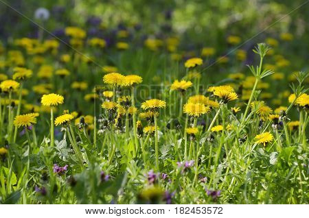 Photo of Spring Dandelion Field at Sunny Day