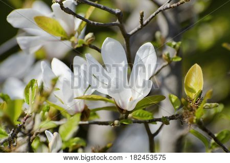 Photo of the White Magnolia Bloom at Sunny Day