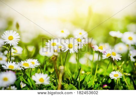 Photo of the White Daisies Field Background