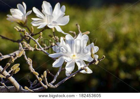 Photo of the White Magnolia Flower Blossom