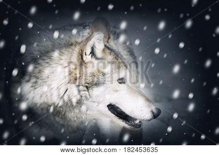 Photo of Single Wild Wolf at Snow