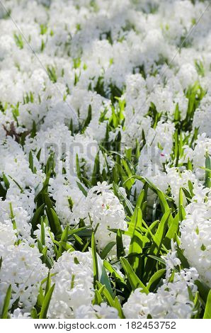 Photo of the White Hyacinth Flower Background