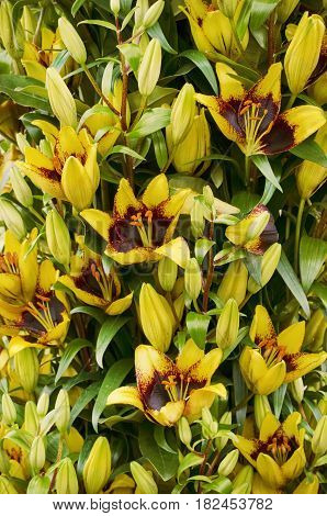 Photo of the Yellow Lily Flower Background