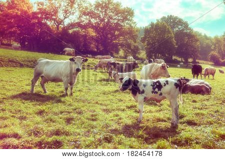 Agricultural landscape with herd of cows looking at camera. Agricultural background
