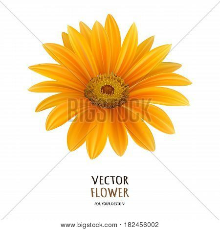Hand drawn vector realistic illustration of Gerbera Daisy flower isolated on white background.