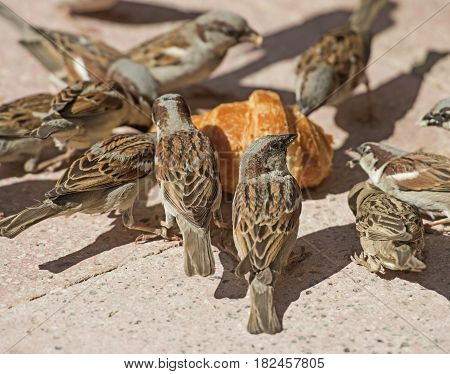 Flock Of House Sparrows Feeding On Bread