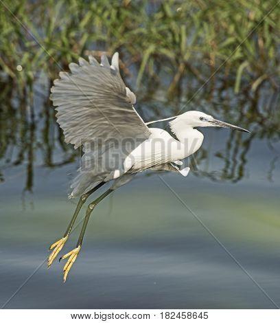 Little Egret In Flight Over River Reeds