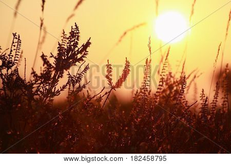 golden sunset over heather flowers close up