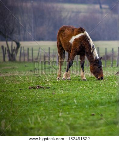 Bosnian Horse on a Field, Bosnia and Herzegovina, Europe
