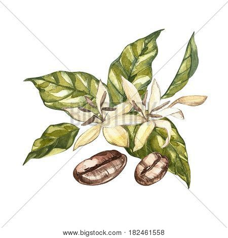 Flowers coffee arabica beans isolated, watercolor illustration