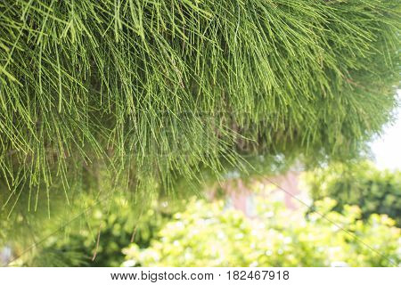 Beautiful Natural Background with Green tree, close up, Wallpaper