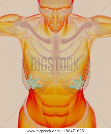 Mammary glands, lobes, breast milk. 3d illustration