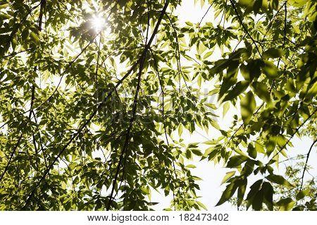 Green leaves of the maple ash tree (Acer negundo box elder ashleaf) in the sunshine.