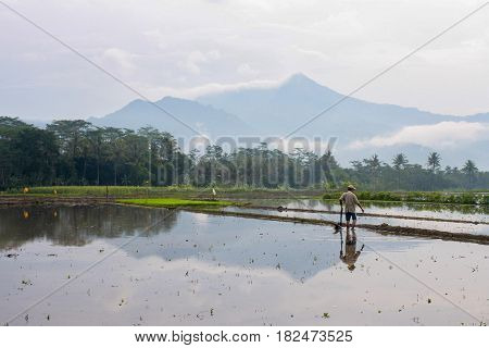 Paddy field at Ambarawa Central Java Indonesia
