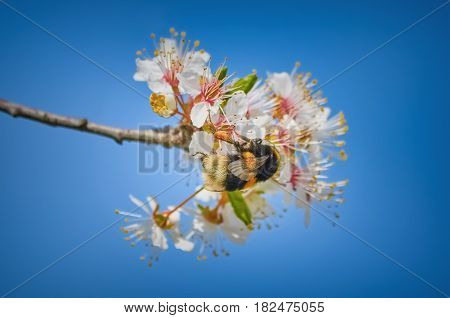 Bumblebee Collects Pollen from the Flower of Cherry Tree