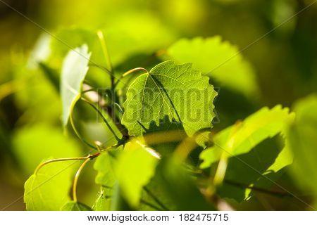 Green aspen (Populus tremula species of poplar) leaves in the sunshine. Close-up.