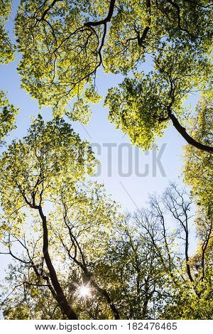 Green treetops against the sky and shining sun in a spring day. Bottom view.