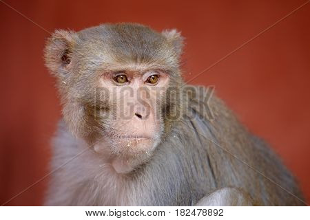 Close-up portrait of a Rhesus monkey, 'Macaca mulatta', sitting against neutral red background