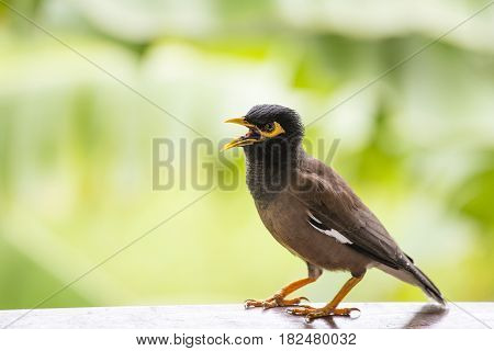 Portrait of a hill mynah Gracula religiosa bird the most intelligent bird in the world. Close up
