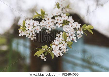 Blossom Of Cherry Plum, Beautiful Background. Spring