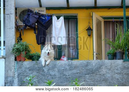 HERCEG NOVI, MONTENEGRO - JULY 21, 2016: white long-haired dog looking out to the balcony is looking at me