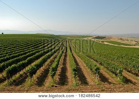 View of a vineyard with ripe grapes