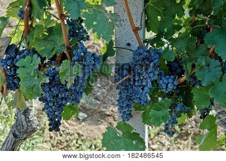 Large and big ripe grapes from old vineyard