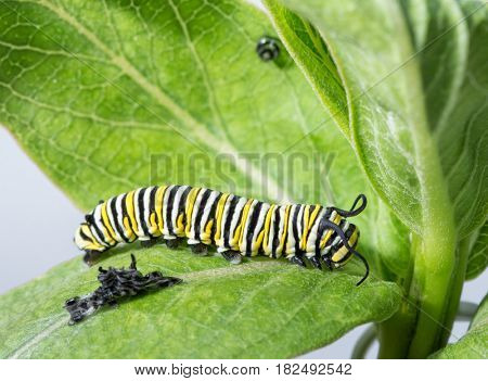 Monarch caterpillar resting right after molting, with his old skin visible next to him, and his old facial skin hanging up on the leaf