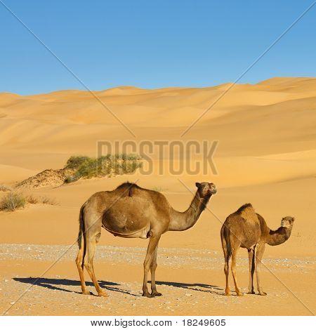 Camels In The Desert - Awbari Sand Sea, Sahara Desert, Libya