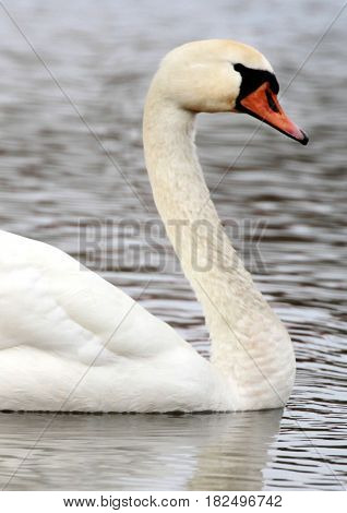 White swan , close up image .