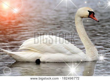 White swan on a lake close up image
