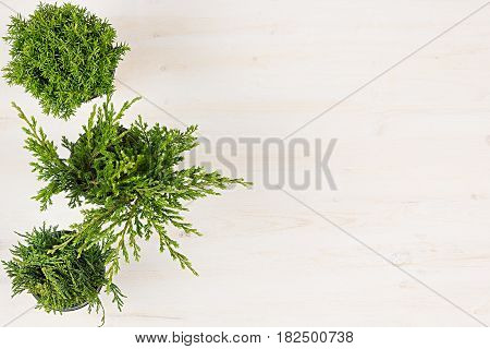 Decorative composition of border green conifer plants in pots top view on white wooden board background. Blank copy space.