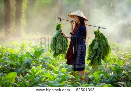 Organic Farm women are carrying tobacco leaf in tobacco field