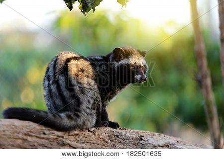 Civet Cat in Coffee plantation in coffee farm