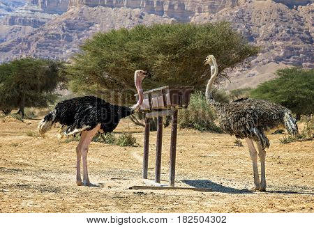 Male (left) and female of African ostrich (Struthio camelus) in nature reserve near Eilat, Israel