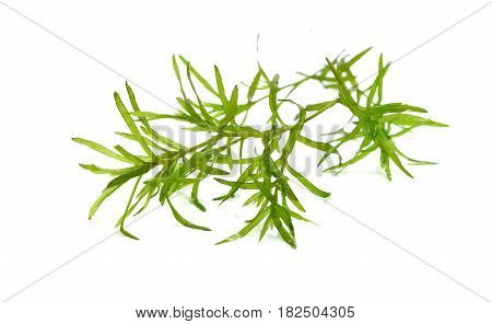 Laminaria Seaweed Isolated on White Background Watercolor seaweed grass bush isolated on white background.