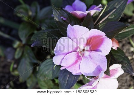 Close up of a mauve/purple flower with foliage background on a sunny day in a park in Montreal, Quebec in late July.