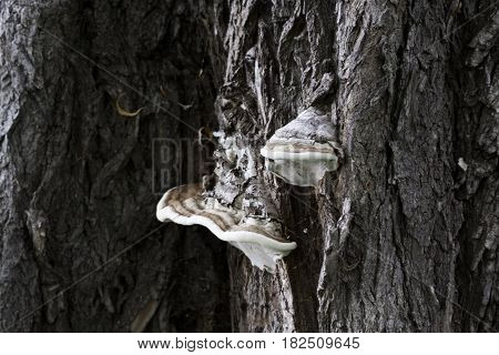 Wide view of a large fungus on an old maple tree in Rene Levesque Park, Lachine, Quebec on a sunny day in August.